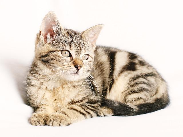 Pengertian Kucing Adalah Hewan Mamalia Karinovora