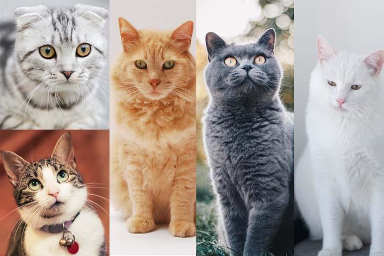 142 Daftar Ras Kucing Dari Seluruh Dunia