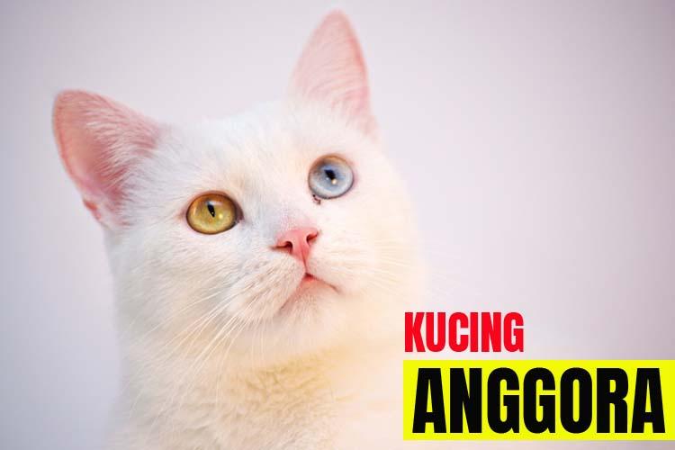 Jenis Kucing Anggora dan Harganya 2020