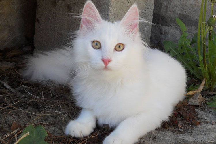 20 Cara Merawat Kucing Anggora Mudah dan Benar