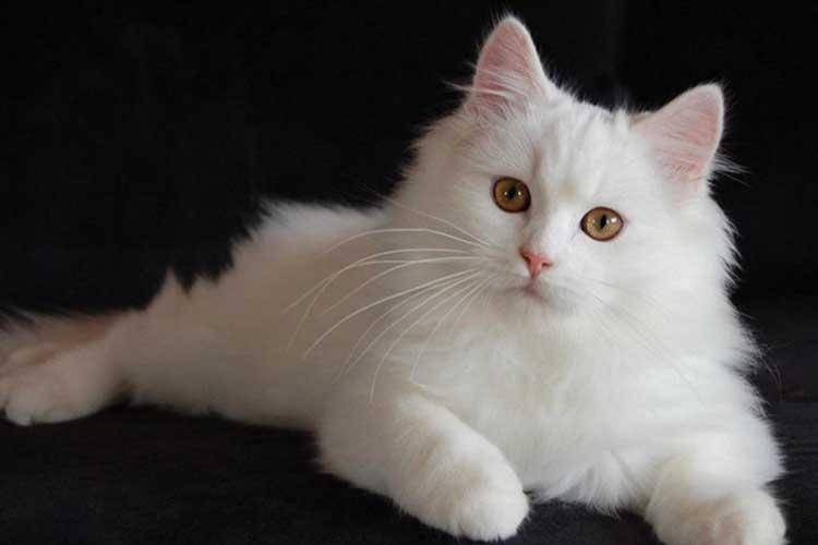 Kucing Anggora sangat populer di Indonesia