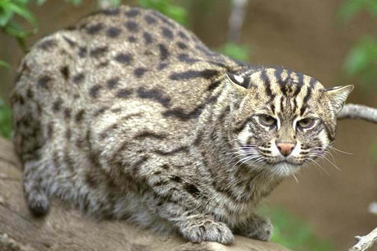 Kucing Bakau atau Fishing Cat
