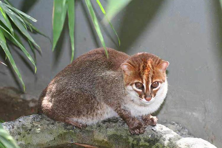 Kucing Kepala Datar
