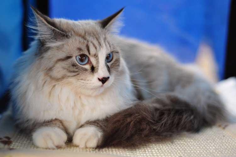 Kucing Maine Coon Yang populer di Indonesia