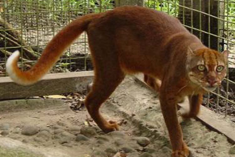 Bornean Red Cat atau Kucing Merah Borneo