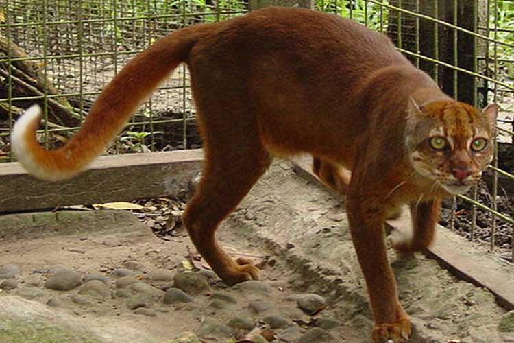 Kucing Merah Kalimantan Indonesia