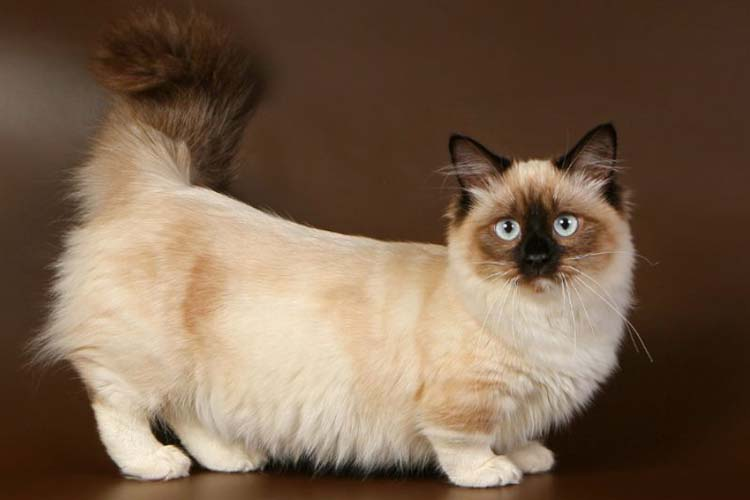 Kucing Munchkin