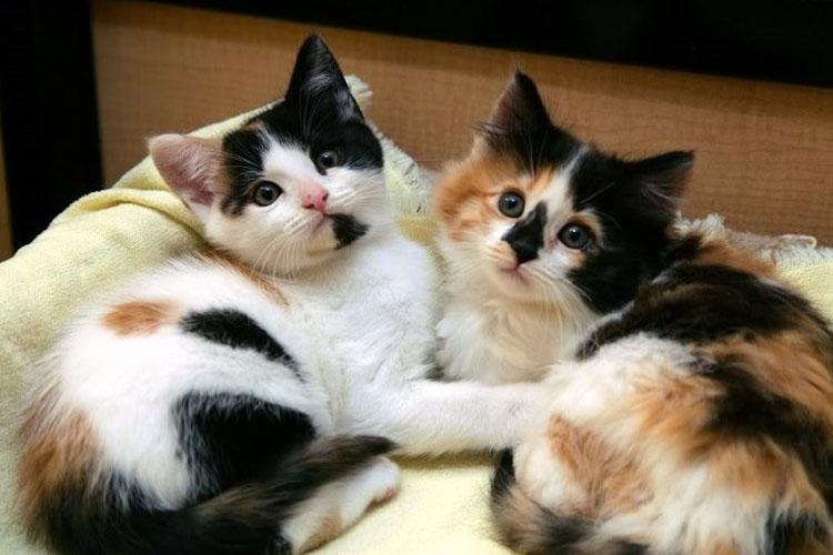 20 Fakta dan Mitos Kucing Kembang Telon