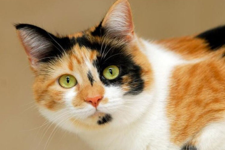 Fakta kucing kembang telon