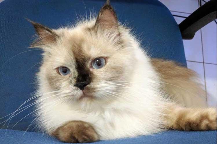 Kucing Himalaya Persia
