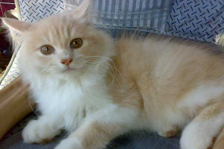 Kucing persia medium asli