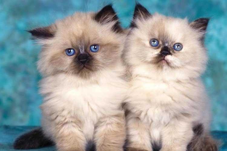 9 Rekomendasi Jenis Kucing Terpopuler di Indonesia