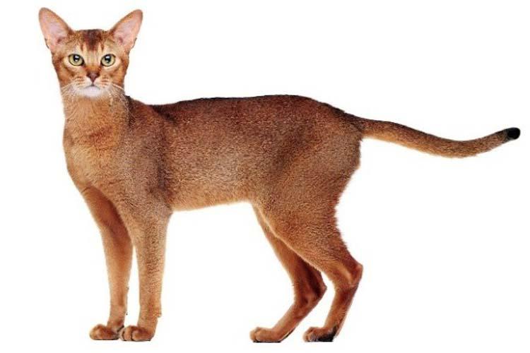 Ras Kucing Abyssinian jenis kucing di dunia yang langka