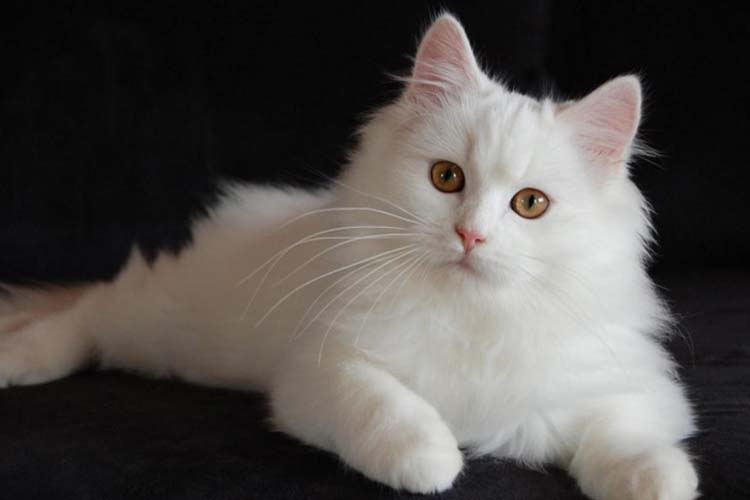 Kucing Anggora Salah satu jenis kucing di dunia