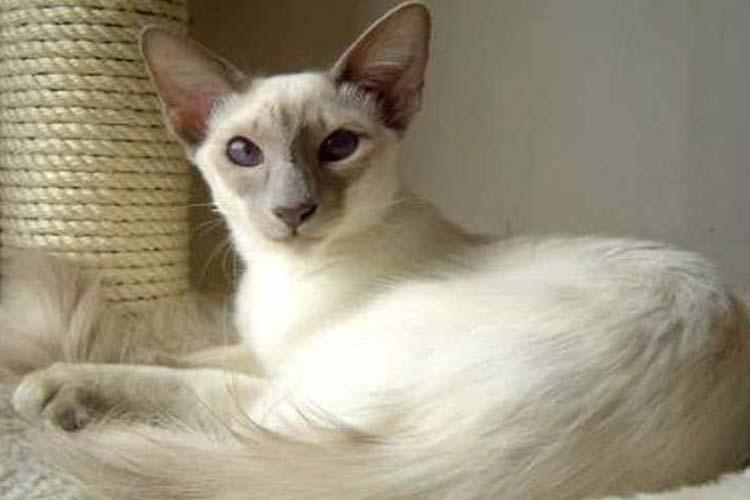 Kucing Balinese salah satu jenis kucing di dunia