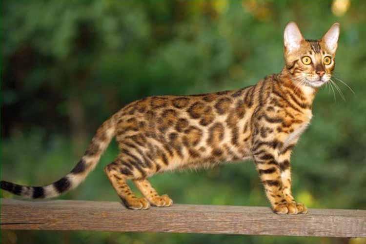 Kucing Bengal salah satu jenis kucing di dunia