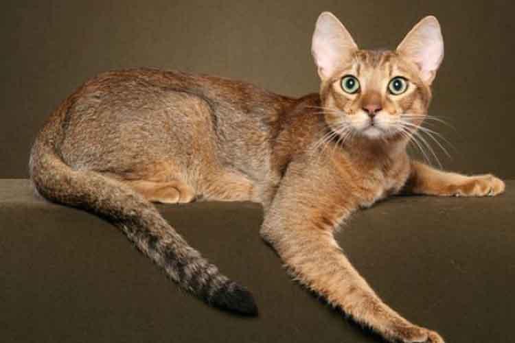 Kucing chausie salah satu ras kucing di dunia