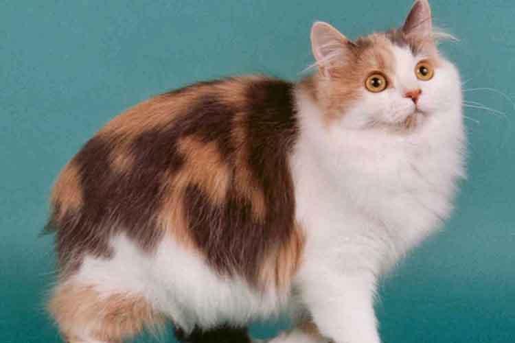 Kucing Cymric salah satu ras kucing di dunia