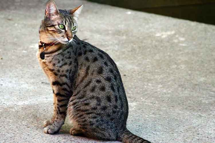 Kucing egyptian mau salah satu ras kucing di dunia