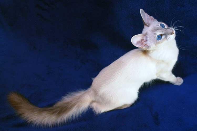 Kucing javanese salah satu ras kucing di dunia