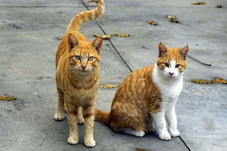 Kucing Kampung Salah satu jenis kucing di dunia