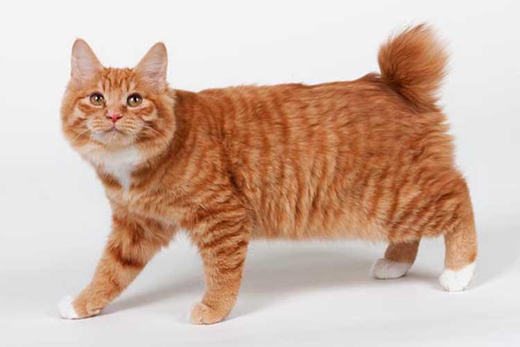 Kucing Kurilian bobtail salah satu jenis kucing di dunia