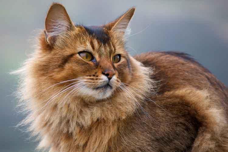 Kucing somali salah satu ras kucing di dunia