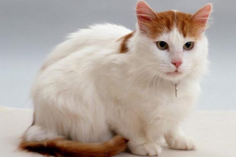 Kucing Turkish Van salah satu jenis kucing di dunia