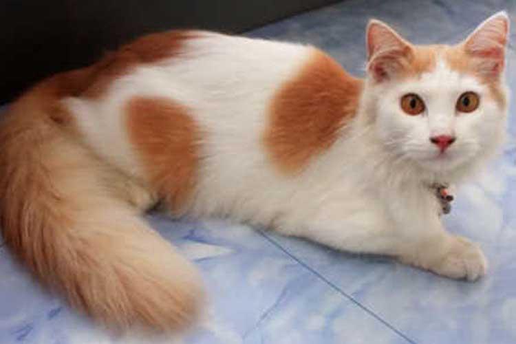 Kucing anggora campuran kampung