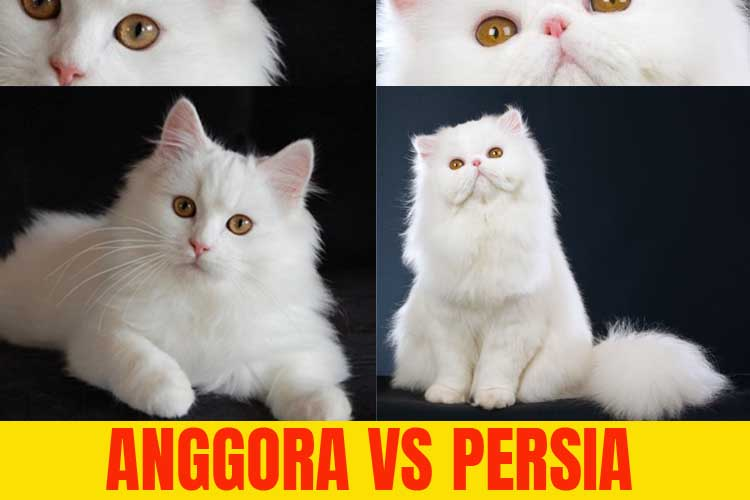 Download 99+  Gambar Kucing Anggora Dan Harga Nya Paling Bagus Gratis