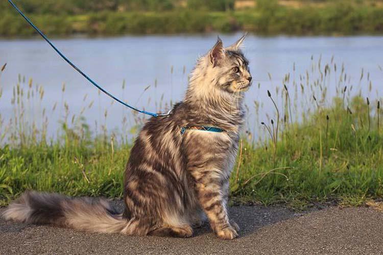 merawat kucing dengan mengajak jalan-jalan