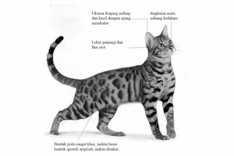 Ciri Ciri Kucing Bengal Asli