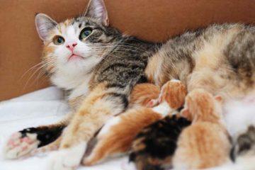 Induk kucing baru melahirkan
