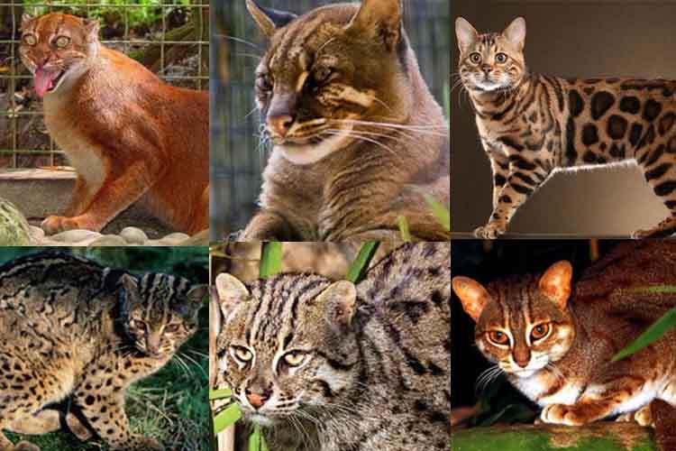 6 Jenis Kucing Hutan Asli Indonesia Endemik