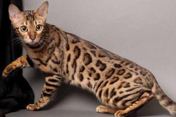 Jenis Kucing Bengal dan Cara Merawatnya
