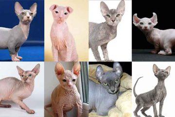 8 Jenis Kucing Tanpa Bulu