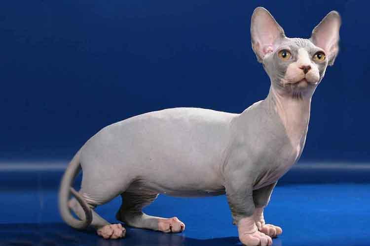 Kucing Bambino Yang Tak Punya Bulu