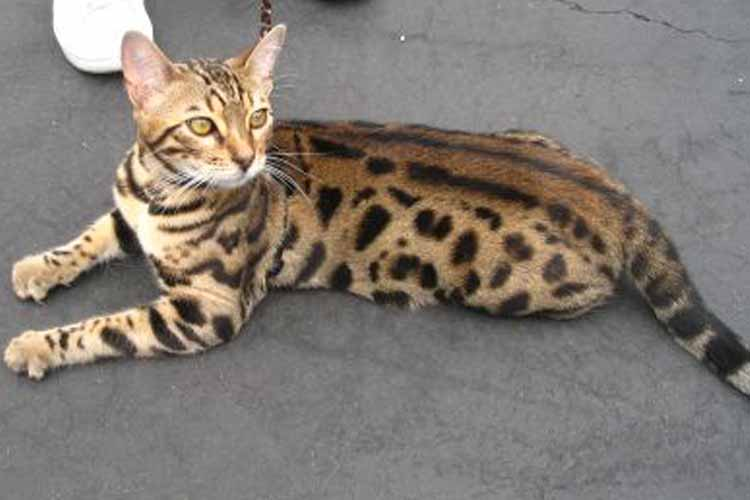 Jenis Kucing Bengal Rosetted Spotted