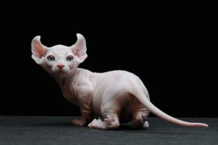 Kucing Dwelf