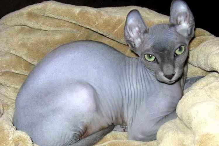 Kucing Elf tanpa bulu