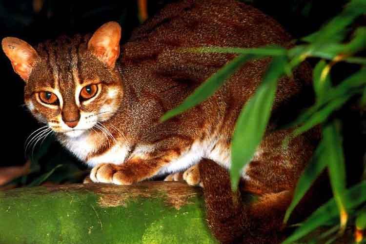 Kucing Tandang atau Kucing kepala datar
