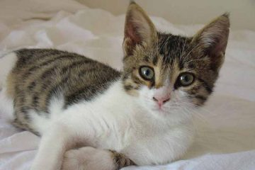Kucing aegean asal yunani