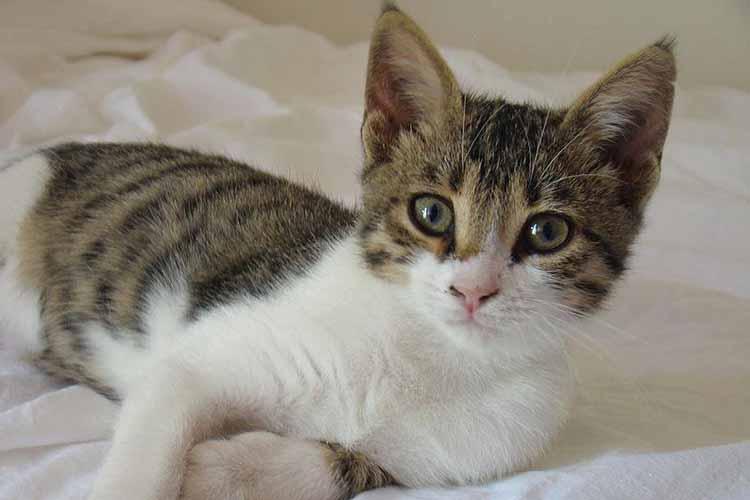 Ras Kucing Aegean Asal Yunani Yang Unik