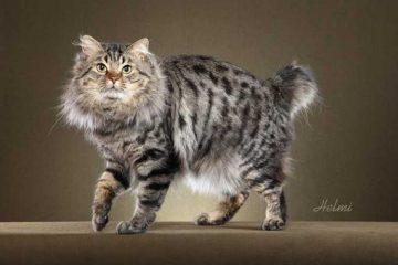 Ras kucing american bobtail asal amerika serikat