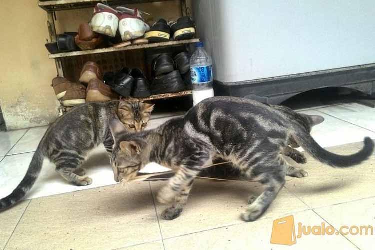 Jenis kucing bengal marbel