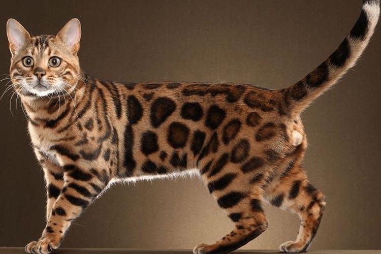 Kucing Blacan Atau Bengal