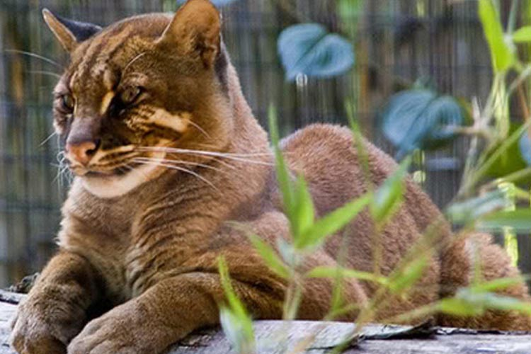 Jenis Kucing Hutan Indonesia