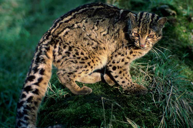 Kucing Batu Indonesia
