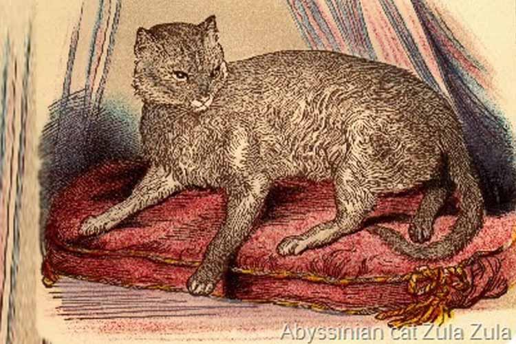 Zula Kucing Abyssinian Pertama