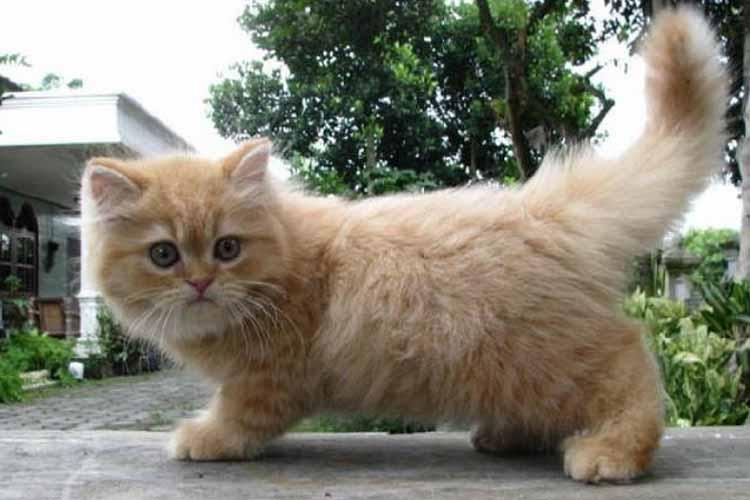 18 Cara Merawat Kucing Persia Medium yang Benar